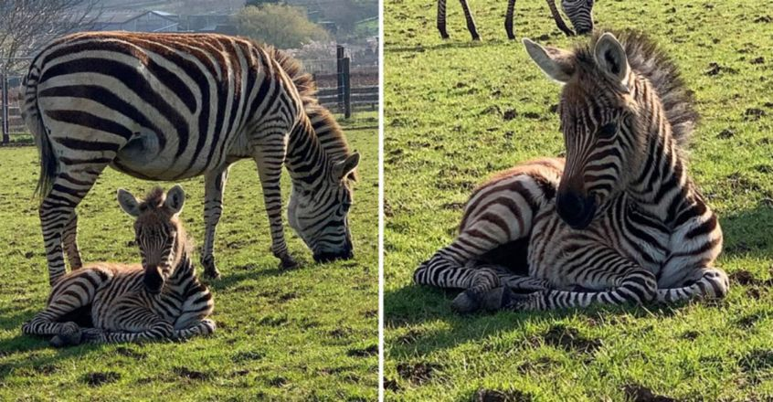 Baby zebra named 'Hope' dies at Somerset zoo