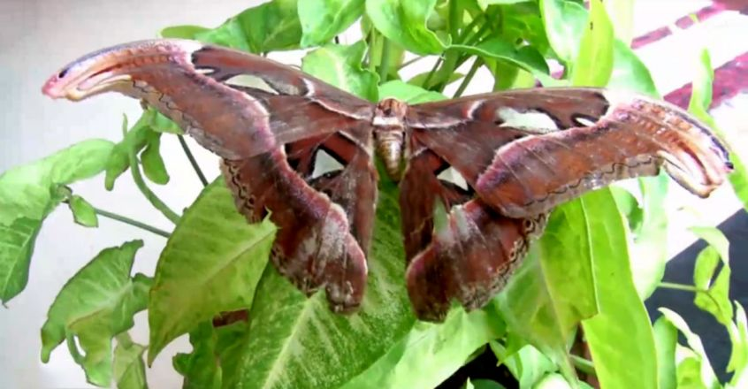 World's Largest Atlas Moth Spotted in Kozhikode
