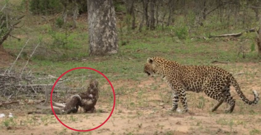Leopard Finds an Eagle Entangled With a Black Mamba