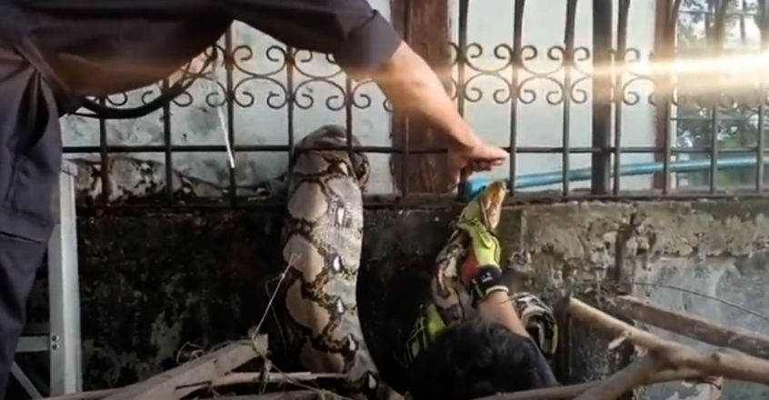 Python Gets Stuck Between Railings After Eating Cat