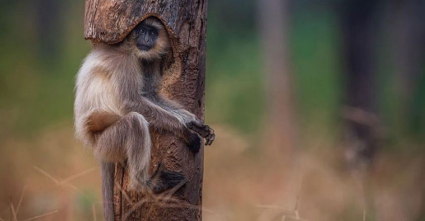 A Langur Sits Snugly Inside A Hollow Tree In Viral Pic From Madhya Pradesh