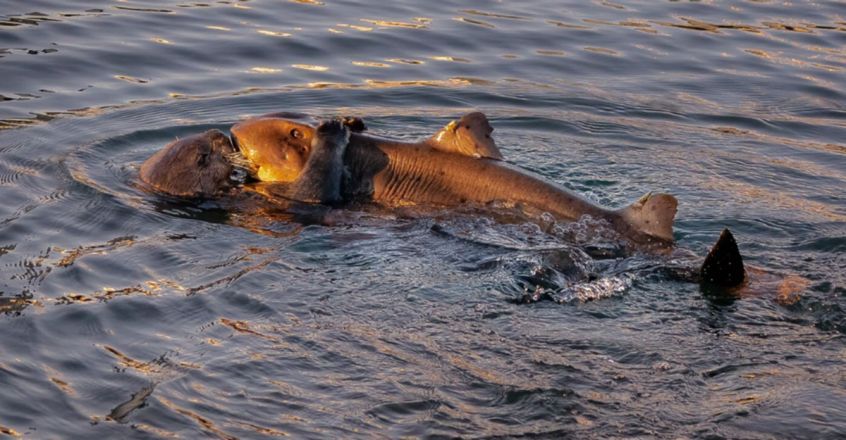 sea otter pictured trying to eat a horn shark