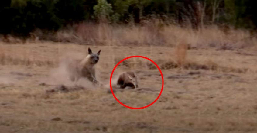 Aardvark Tries to Outrun Hyena in Epic Chase
