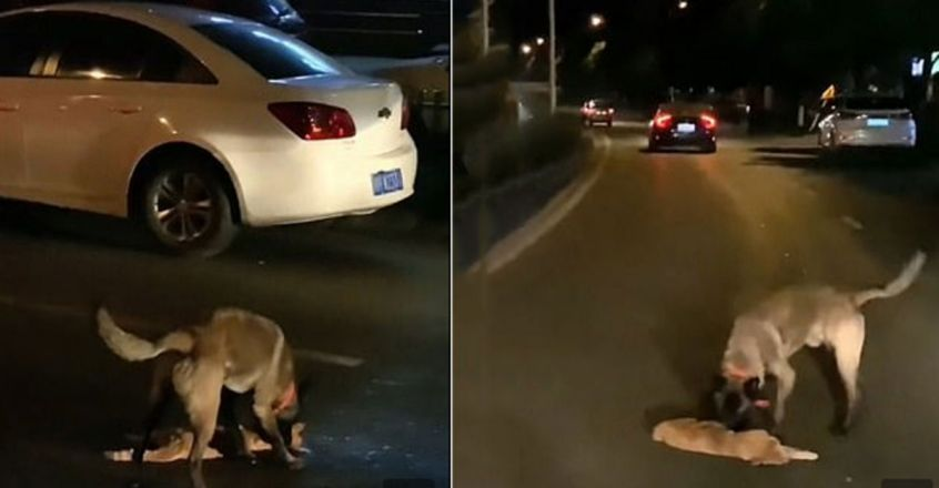 Pet Dog Tries to Wake up Cat Who Died in Road Accident