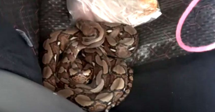 Thai women driver returns from day out and finds python on back seat of her car