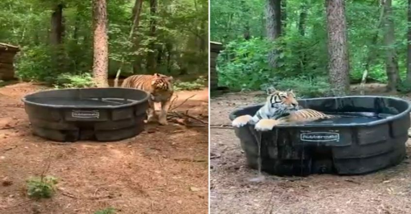 Anand Mahindra's perfect description of a tiger in a bathtub
