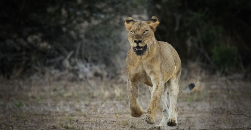 Boy among two held for chasing, scaring lions away in Gir forest
