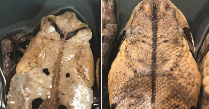 hese clever toads pretend to be deadly snakes to avoid being attacked