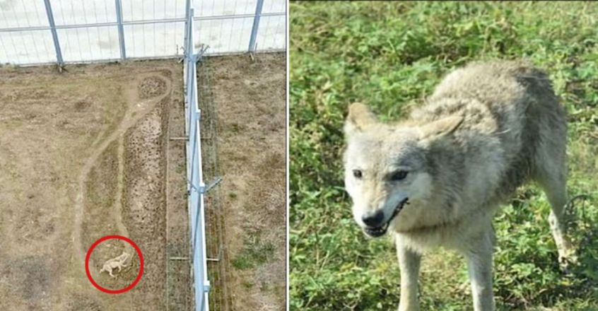 'Depressed' wolf rejected by alpha male's pack walks constant figure-of-eight pattern in China