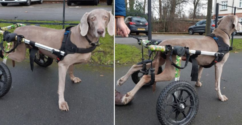 Paralysed dog is back on her paws