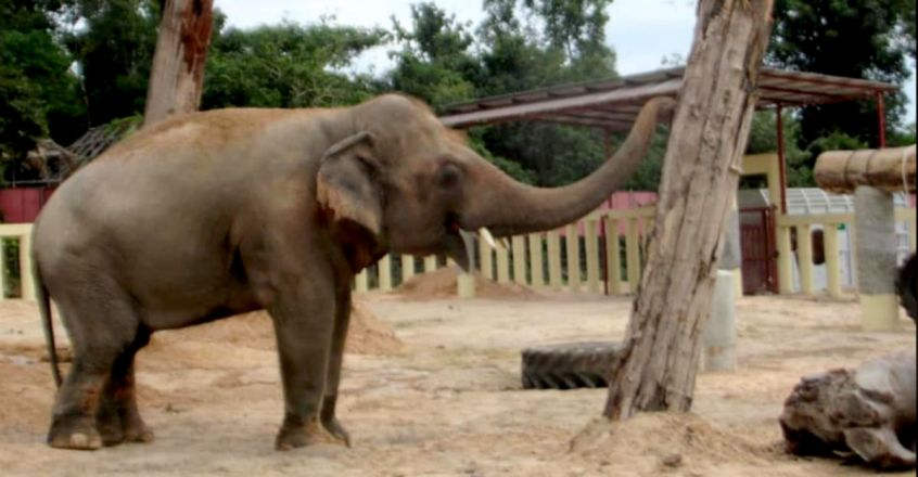 'World's loneliest elephant' Kaavan starts a new life in Cambodia
