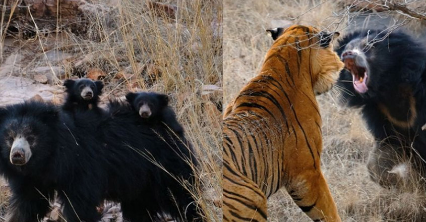 Confrontation Between Mother Bear and Tigers in Ranthambore