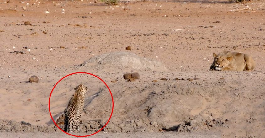 Leopard Walks Right into a Lion