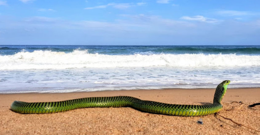 Venomous boomslang rescued from a south coast beach
