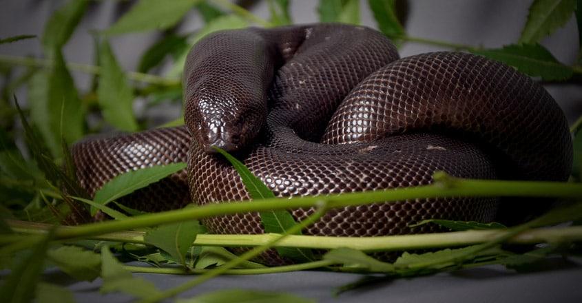 Red Sand Boa Snake