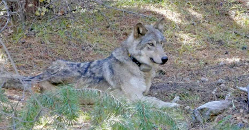 Lone Wolf Who Roamed Nearly 9,000 Miles In Search Of Mate Found Dead
