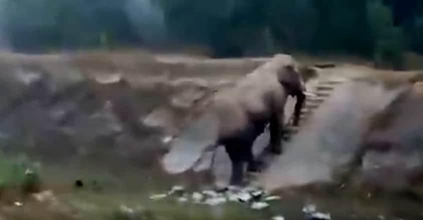 elephant climb stairs