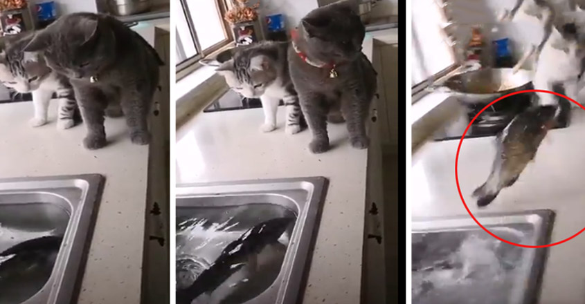 Fish in sink attack cats