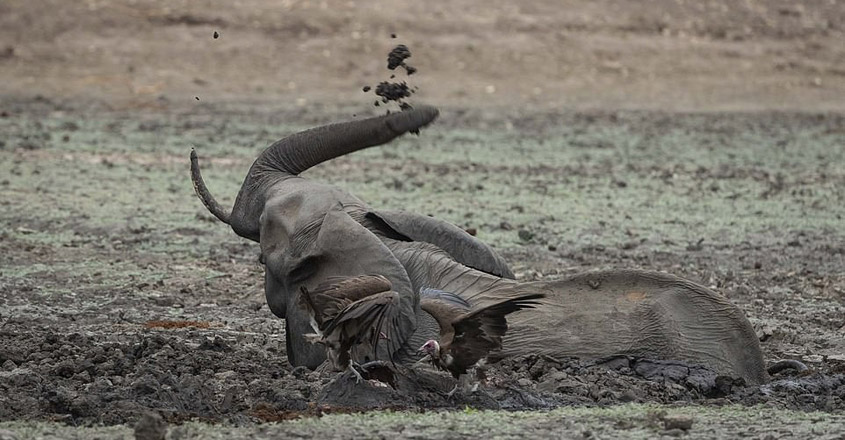 Baby elephant is eaten alive by a pack of hyenas