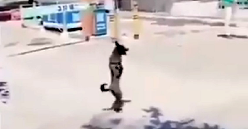 Two-legged Dog Keeps Falling and Getting Up while Crossing Road