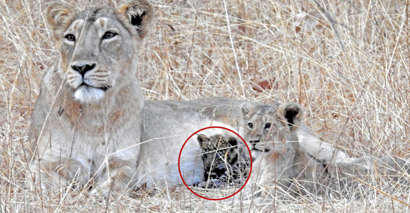 Lioness adopts leopard cub and 'cares for it like her own