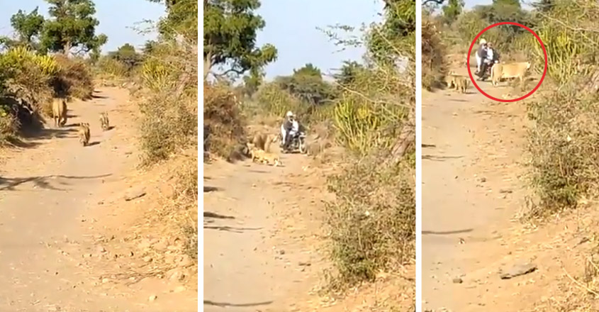 Lioness and her cubs make way for biker in Gujarat