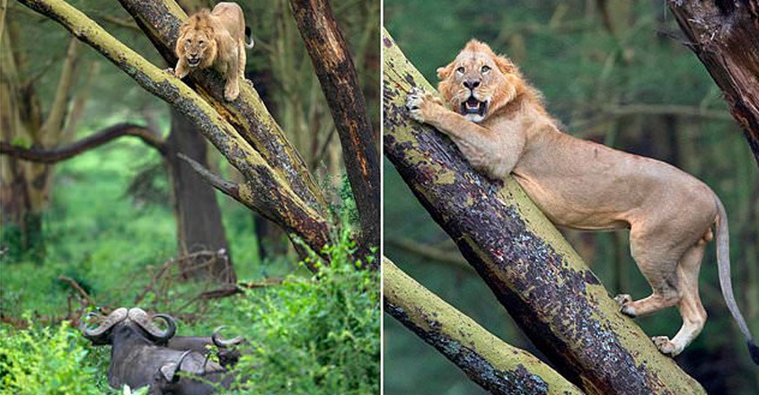 Lion hides in a tree after being chased by a herd of 100 angry buffaloes in Kenya