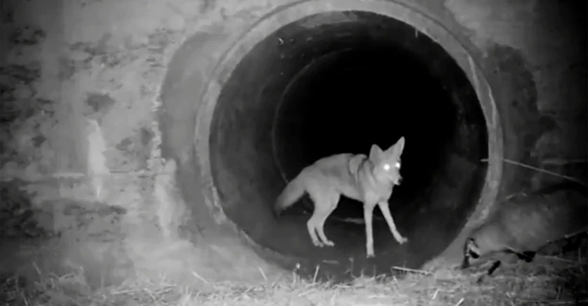 A Badger And Coyote 'Friendship' Has Scientists Excited