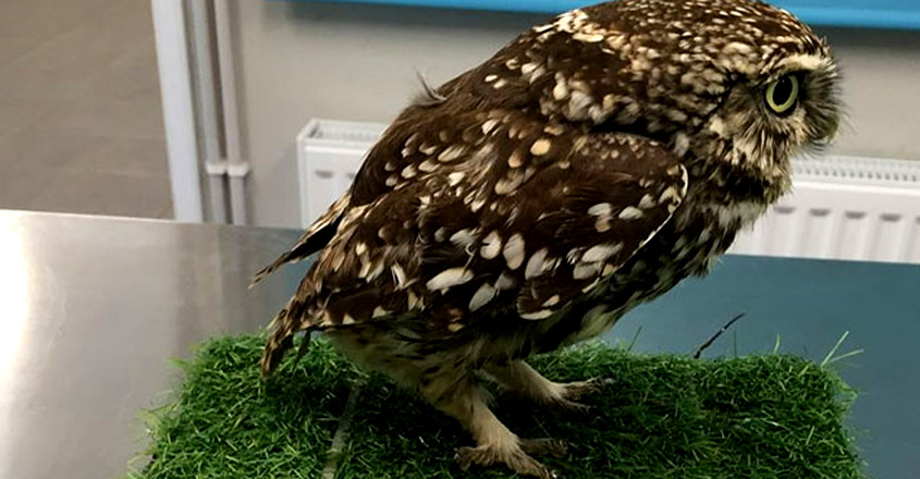 Obese Owl That Was Once Too Fat To Fly Has Been Released Back Into Wild