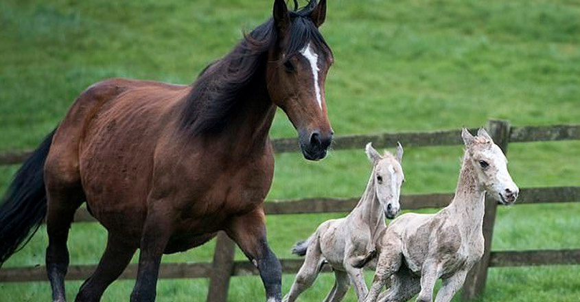 Horse that gave birth to twin foals