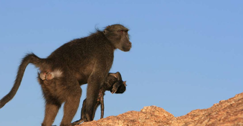 Grieving Baboon Mothers Carry Their Dead Infants For More Than A Week To Cope With Loss