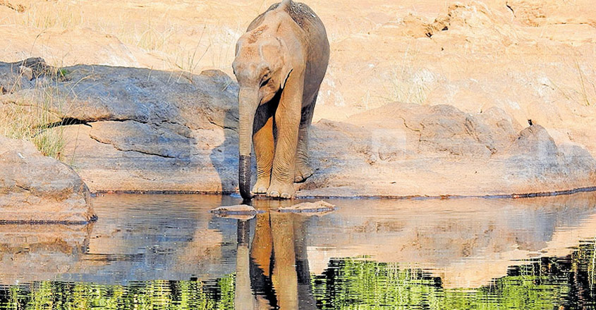 Stranded elephant calf in Pooyamkutty