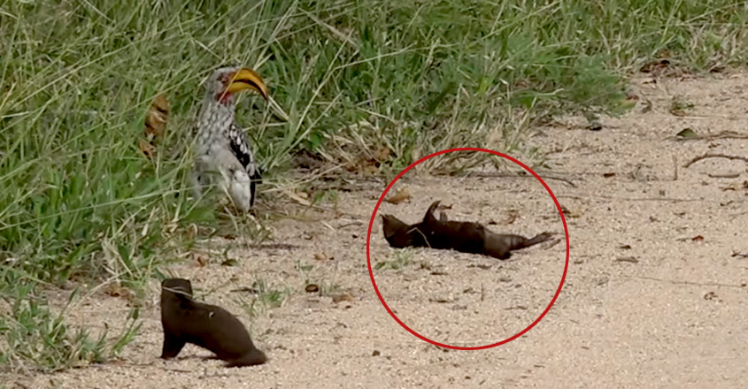 Mongoose Pup Hilariously Plays Dead For Hornbill