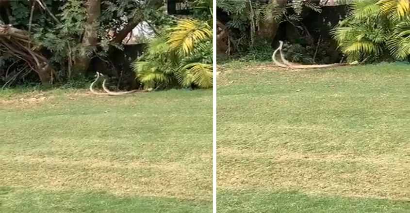 Two Snakes 'Dancing' At A Golf Course