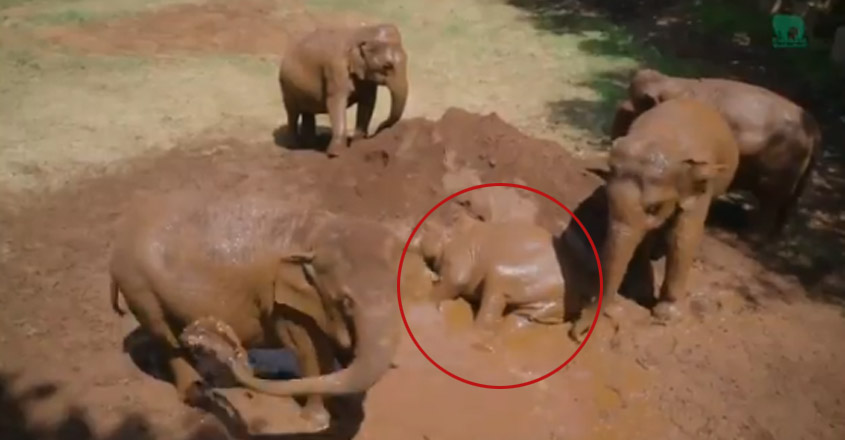 Elephants rolling around in mud cools their body