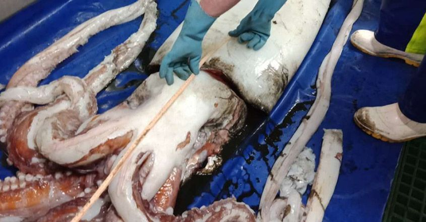 Researchers find giant squid