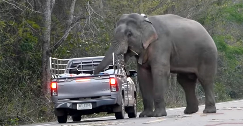 Elephant Ransacks The Bed Of A Pickup Truck