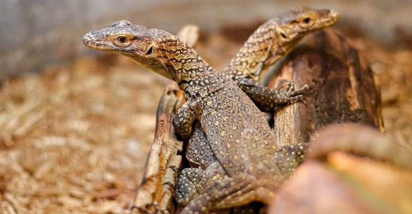 Zoo Discovers its New Baby Komodo Dragons Were Born Without Male Involvement