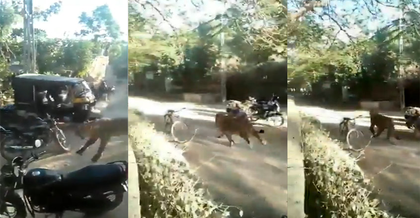 Lion charges towards group of people in Gujarat village