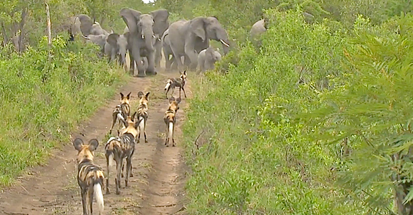 Elephants Protect Babies From Wild Dogs