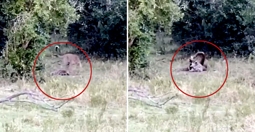 Leopard and python caught in a deadly battle