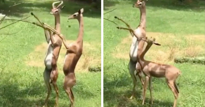 Gerenuk antelopes standing on their legs and helping each other with food