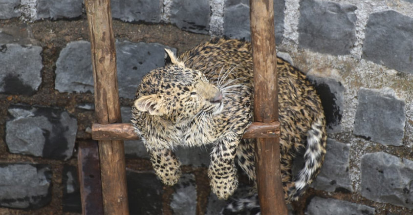 Leopard Trapped In Well Rescued Using Ladder In Madhya Pradesh