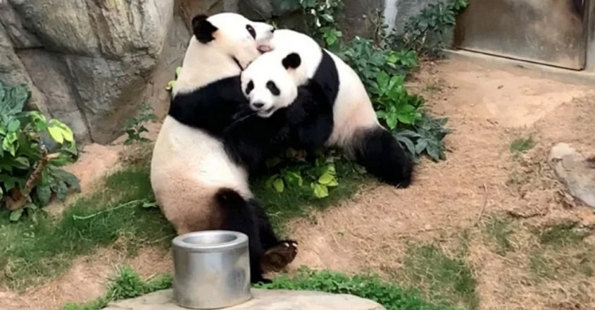 Pandas Kept Together For 10 Years Have Finally Mated During The Coronavirus Lockdown