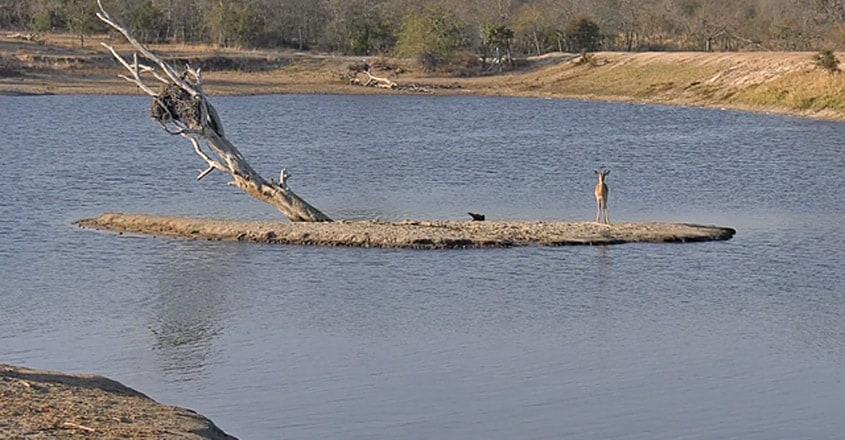 Impala Tries to Out-Swim Crocodiles and Hippos
