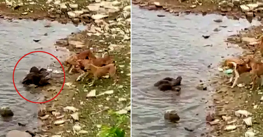 In Madhya Pradesh, Otters Fight Dogs To Protect Their Baby