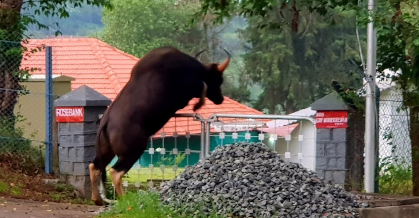 Indian Gaur Show His Jumping Skills