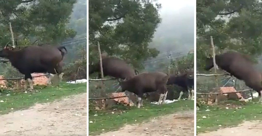 6 gaurs jumping over a fence in Tamil Nadu goes viral