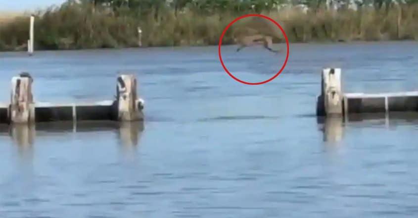 bobcat making an impressive jump goes viral.