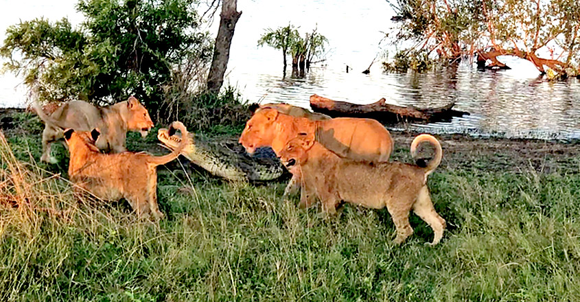 Cornered Crocodile is Forced to Attack Lions